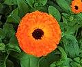 Pot marigold.jpg