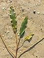 Potamogeton nodosus sl46.jpg