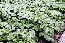 220px-Potato_plants.jpg