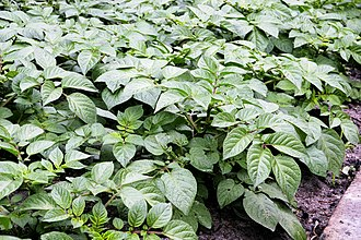 Potato - Potato plants