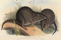 potoroidae wikipédia a enciclopédia livre