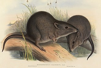 Potoroidae - Gilbert's potoroo