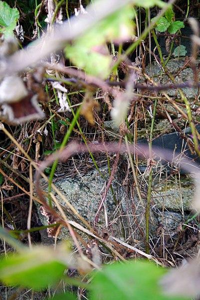 Anciens fours de potier à Dalino et Hervoche à Landieul, près d'Herbignac. Désaffectés en 1945, les fours sont en 2013 en ruine et presque invisibles sous un amoncellement de ronces.