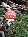 Povlen - zapadna Srbija - Jesenja flora - Muhara Amanita muscaria 1.jpg