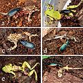 Predation of amphibians by adult Epomis - ZooKeys-100-181-g002.jpeg