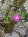 Primula hirsuta (15152370279).jpg
