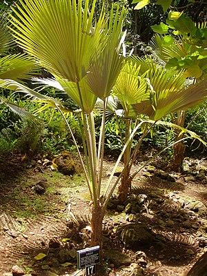 Pritchardia - Pritchardia limahuliensis