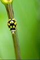 Propylea quatuordecimpunctata1.jpg