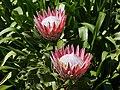 Proteus Blossoms (44701542002).jpg