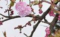 Prunus.serrulata02.jpg