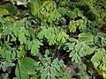 Pseudofumaria lutea 2016-04-22 8537.jpg