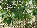 Pterocarpus santalinus 01.JPG