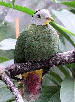 Ptilinopus melanospilus male