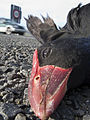 Pukeko killed by a car in Blenheim, New Zealand.jpg