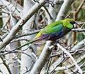 Purpureicephalus spurius -Perth, Western Australia, Australia-8.jpg