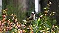 Pycnonotus sinensis - panoramio (004).jpg