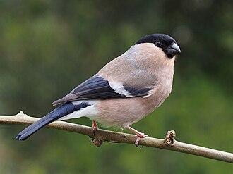 Finch - Image: Pyrrhula pyrrhula female 2
