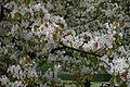 Pyrus-ussuriensis-flowering.JPG