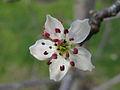 Pyrus nivalis flower.jpg