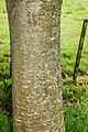 Quercus canbyi x Q. xalapensis in Hackfalls Arboretum (1).jpg