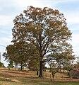 Quercus falcata in Marengo Alabama USA.JPG