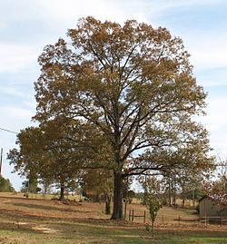 Quercus falcata in Marengo Alabama USA.JPG