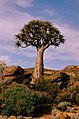 Quiver tree Northern Cape.jpg