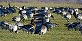 Rödhalsad Gås Red-breasted Goose (20357109521).jpg