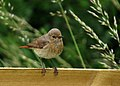 Rödstjärt Redstart (14520067835).jpg