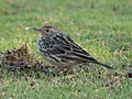 RED-THROATED PIPIT Anthus cervinus (8468688762).jpg