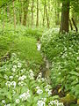 Ramsons on the Ripon Rowel - geograph.org.uk - 441686.jpg