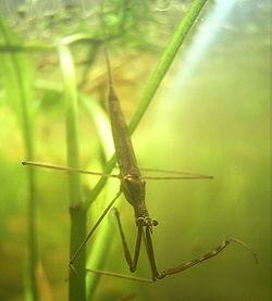 Ranatre linéaire, en position de chasse. On voit bien le siphon, qui lui permet de respirer à la surface, et les grandes pattes ravisseuses, repliées en Z
