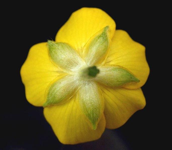 File:Ranunculus repens 06 ies.jpg