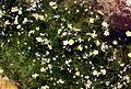 Ranunculus trichophyllus ssp. eradicatus PID1441-1.jpg
