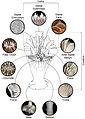 Recent azooxanthellate Scleractinia (Cnidaria, Anthozoa) - ZooKeys-227-001-g001.jpeg