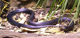 Red-Bellied-Black-Snake-BFP-2.jpg