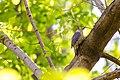 Red-bellied woodpecker (26329145076).jpg