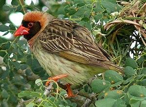 Red-billed quelea - Male breeding plumage of Q. q. lathamii