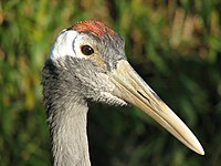 Red-crowned Crane head.jpg