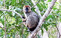 Red-fronted brown lemur 5.JPG