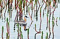 Red-necked phalarope on St. Paul by Ryan Deregnier USFWS.jpg
