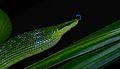 Red-tailed Green Rat Snake (Gonyosoma oxycephalum) (8678546368).jpg