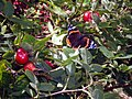 Red Admiral on a hedgerow with rose hips - geograph.org.uk - 857634.jpg
