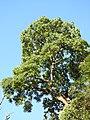 Red Cedar tree DSCN1378.jpg