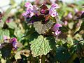Red Dead-nettle (Lamium purpureum).jpg