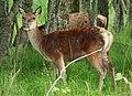 Red Deer Cervus elaphus female (38227228995).jpg
