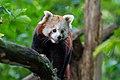 Red Panda (37469322842).jpg