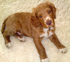 German Spaniel - A three-month-old puppy, showing the variation in the shades of color in the breed