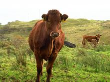Red cow grazing on limestone grassland