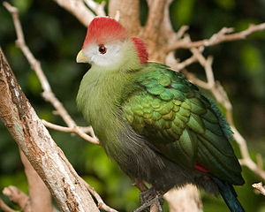 Red-crested turaco - Red-crested turaco, Niagara Falls Aviary, Canada